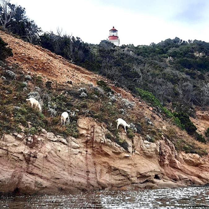 La photo du jour : les chèvres du phare de la Chiappa