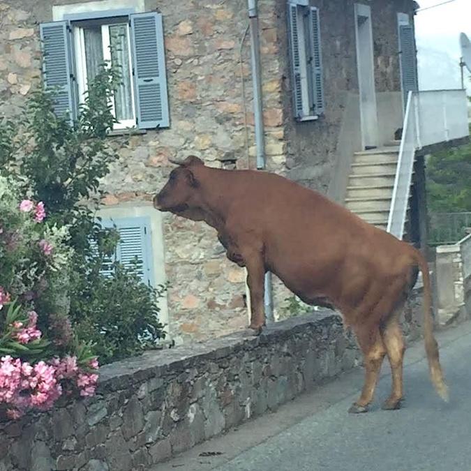 Insolite : la vache… curieuse