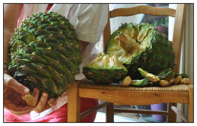 La pomme de pin géante serait le fruit de l'araucaria bidwillii. Photo : Chantal Ribéreau