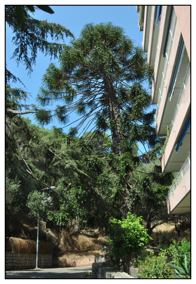 L'arbre en question. Photo : CR