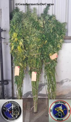 Olmeta-di-Tuda : les gendarmes saisissent 30 kg de produits stupéfiants