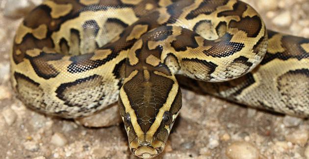 Ajaccio : Un python récupéré dans la rue par les pompiers