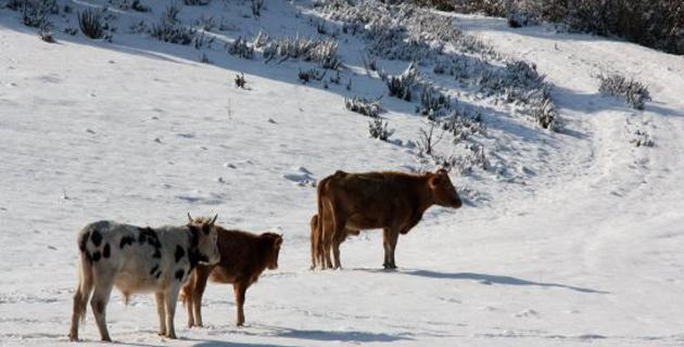 Soccia : Des bovins pris au piège par la neige