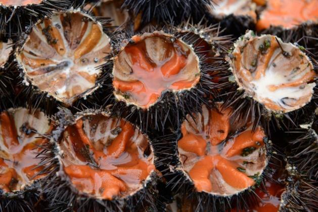 Oursinades géantes sur la presqu'île de la Revellata