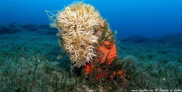 L'image du jour : La grande nacre de Méditerranée