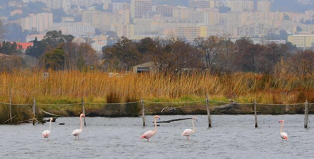 L'image du jour : La halte des flamants roses à Biguglia