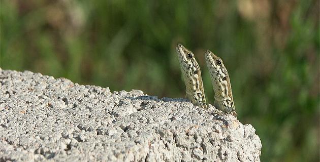 Corse-du-Sud : Le mystère des lézards inséparables élucidé. Ils sont jumeaux !