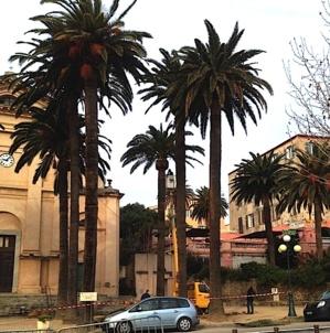 L'Ile-Rousse met tout en œuvre pour préserver ses palmiers centenaires