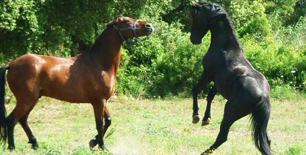 Cavallu Corsu : 9 étalons agréés