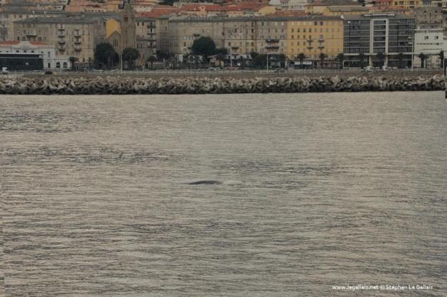 Une baleine traverse la passe du port de Bastia
