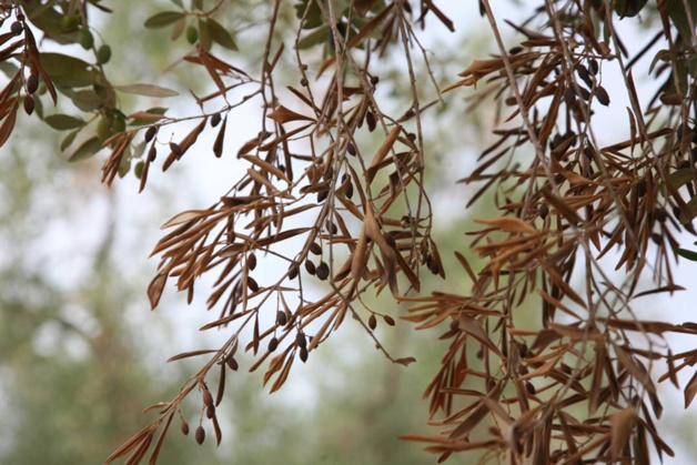 Les ravages de la Xylella Fastidiosa sur les oliviers (efsa)