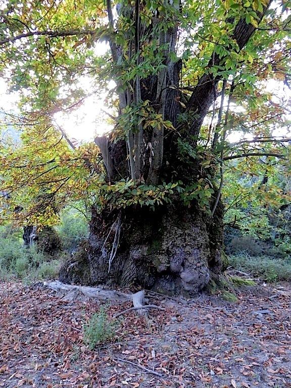 Le plus bel arbre de l'année est le… châtaignier de Pianellu !