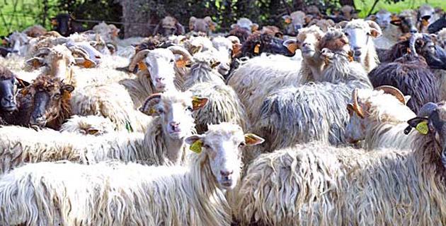 Sécheresse :  Vives inquiétudes de l'Interprofession laitière ovine et caprine de Corse
