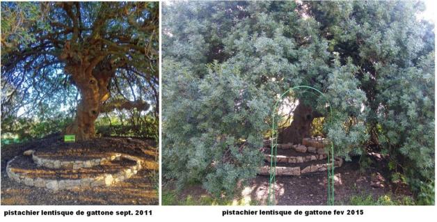 Ghisonaccia : La nouvelle vie du listincu de Gattone