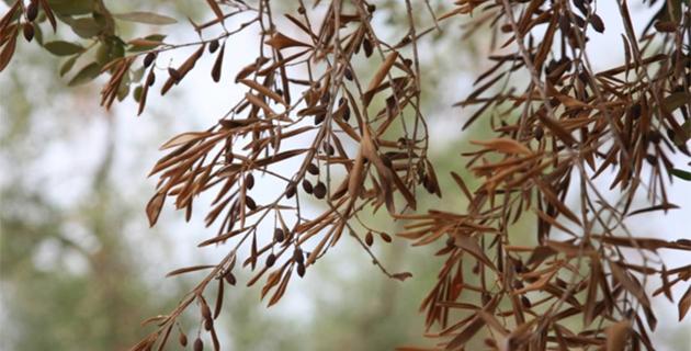 Xylella fastidiosa : L'appel à la vigilance des préfectures de Corse