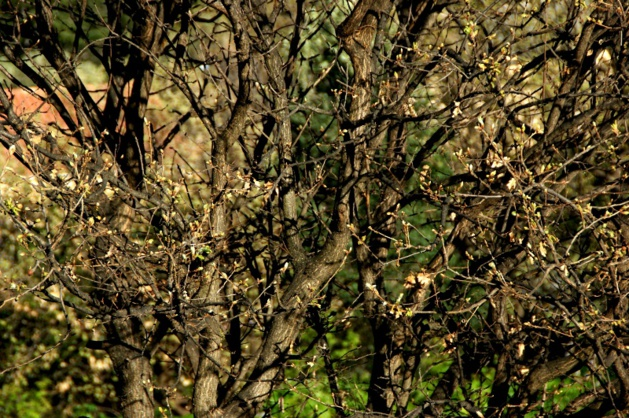 Santa-Reparata-di-Balagna : Quel est l'étrange phénomène qui frappe oliviers et amandiers ?