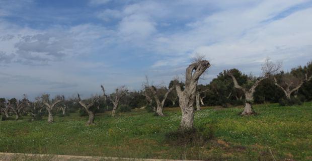 Oliviers contaminés par la xylella fastidiosa dans la région des Pouilles en Italie.