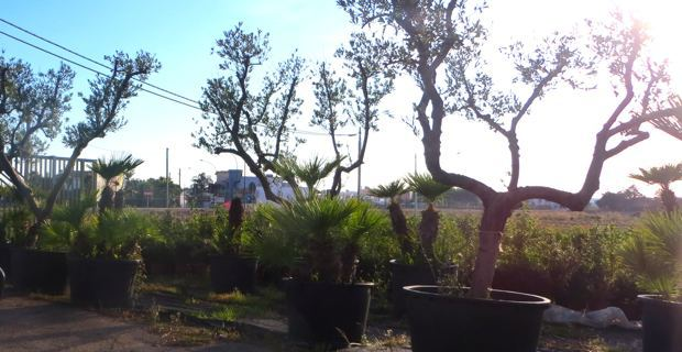 Des plants d'oliviers, proposés à la vente, dans la région infectée du Salento.