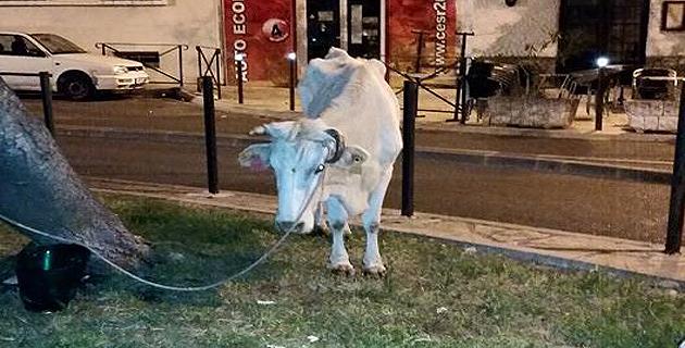 Bastia : Risque de transmission de la tuberculose bovine à l'homme