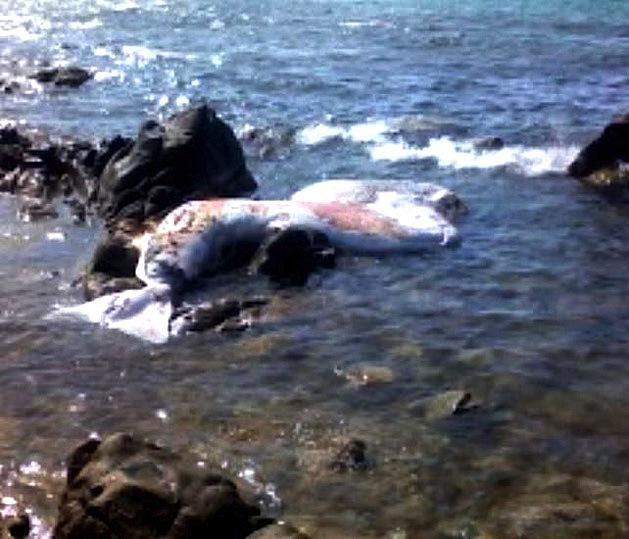 Requin-pèlerin ou cachalot échoué sur la plage de L'Ile-Rousse ?