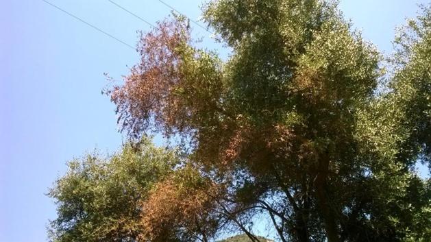 Xylella Fastidiosa : Les inquiétudes du domaine de Petricajola d'Oletta