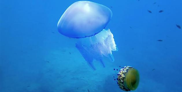 """Bastia : L'étrange méduse """"œuf au plat"""""""