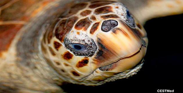 Un appel à contribution pour bâtir le premier centre de secours des tortues marines en Corse