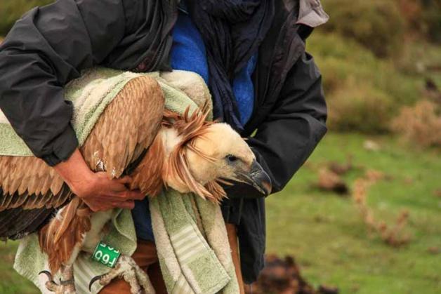 Un jeune vautour fauve, en difficulté, sauvé dans le Reginu