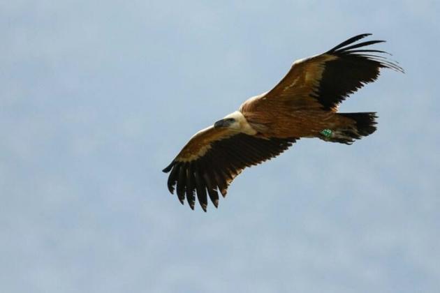 L'incroyable voyage de Kronos, le jeune vautour qui a volé du Frioul jusqu'à la Corse