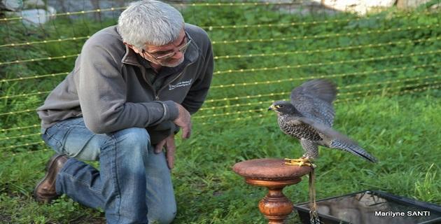 La fauconnerie appelée à la rescousse pour effaroucher les étourneaux ajacciens