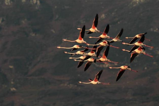 """Le vol des flamants roses : des images merveilleuses de l'association """"Oiseaux de Corse"""""""