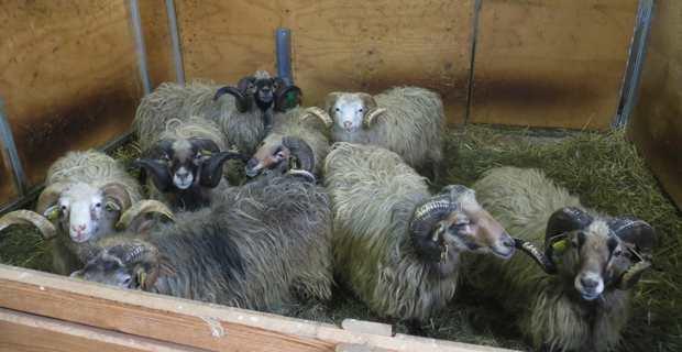 La race ovine corse au Centre d'Altiani.