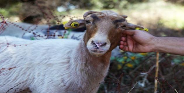 Aleria : Vente d'agnelles destinée aux bergers de Corse