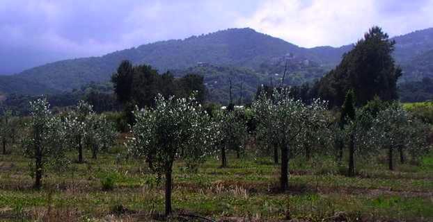 Jeune plantation de Ghjermana à Castellare di Casinca.