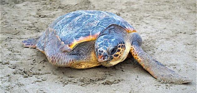 Biguglia : Bientôt un centre d'accueil pour tortues marines à Stella Mare