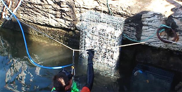 Corse  : Les premières nurseries artificielles biohut installées au port de Saint-Florent