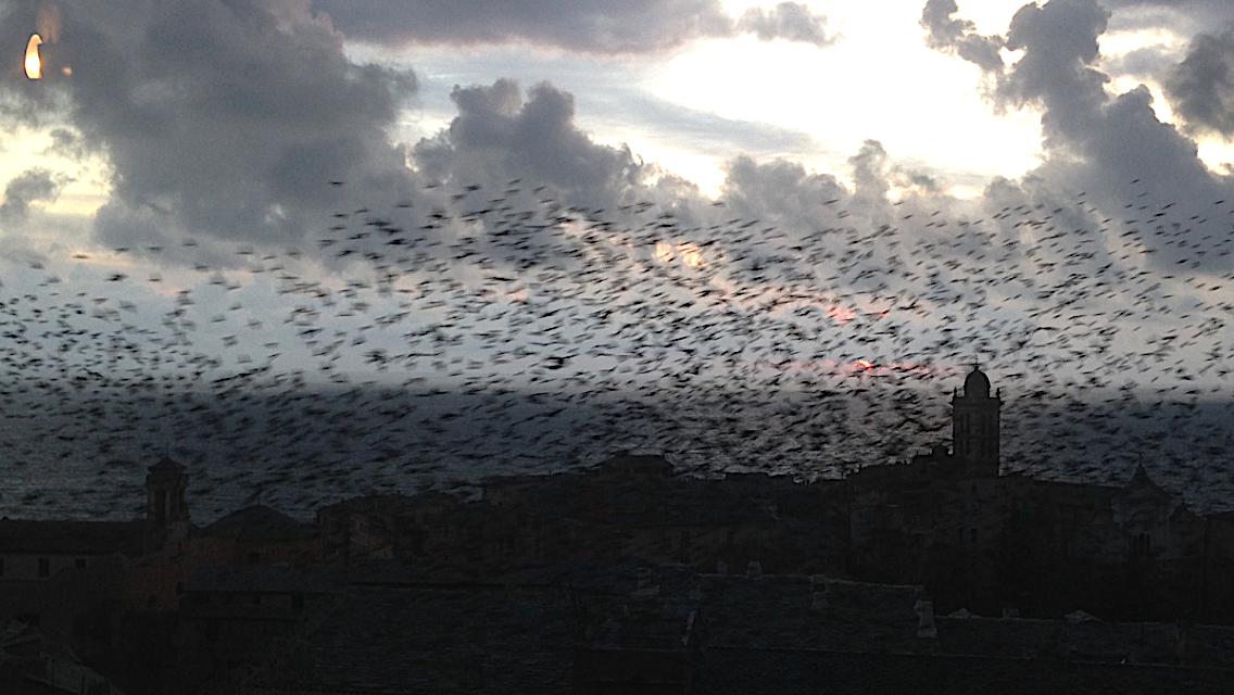 Bastia  : Nuées d'étourneaux sur la ville...