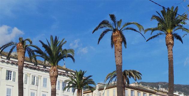 Les palmiers de la Place Saint Nicolas à Bastia touchés par le charançon rouge.