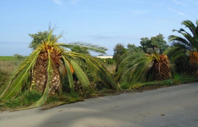 Palmiers malades sur la route de Santa Maria di Lota dans le Cap Corse.