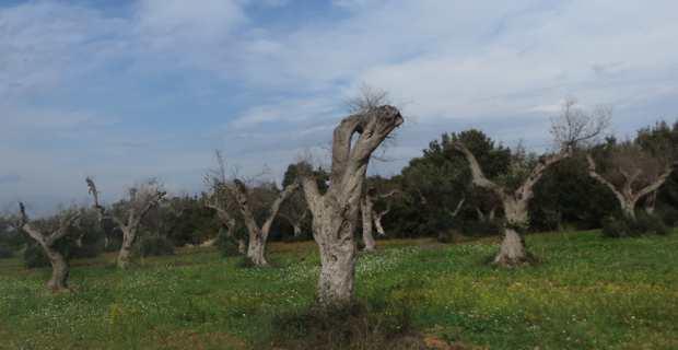 Les oliveraies du Salento, dans les Pouilles, ravagées par la xylella fastidiosa.