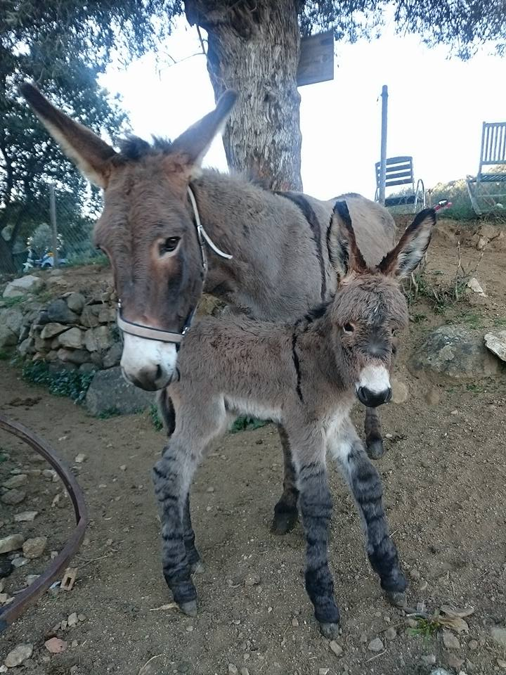 Nouvelle campagne de recensement de l'âne corse