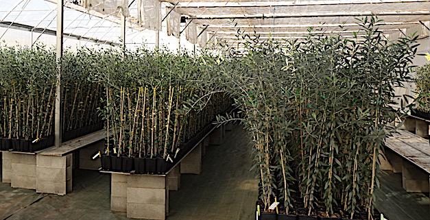 Les oliviers élevés sous serre