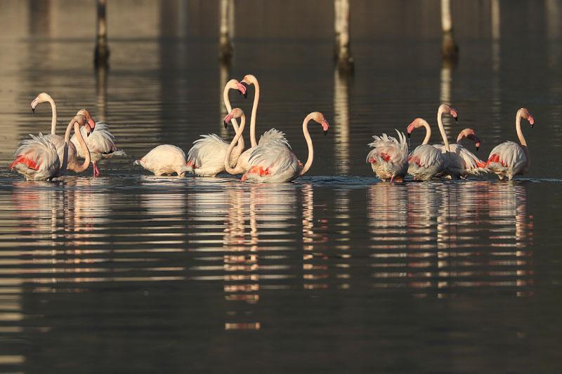 (http://www.oiseauxdecorse.fr)