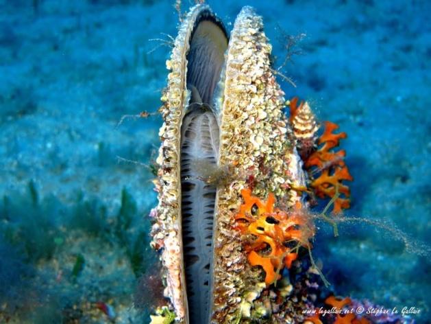 SoS Grande Nacre :  Le CPIE d'Ajaccio lance un appel aux plongeurs