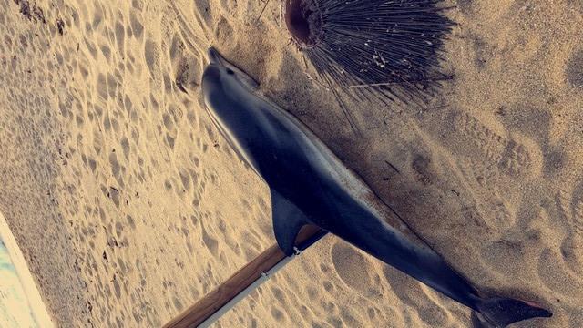 Un bébé dauphin retrouvé mort sur la plage d'Aregnu