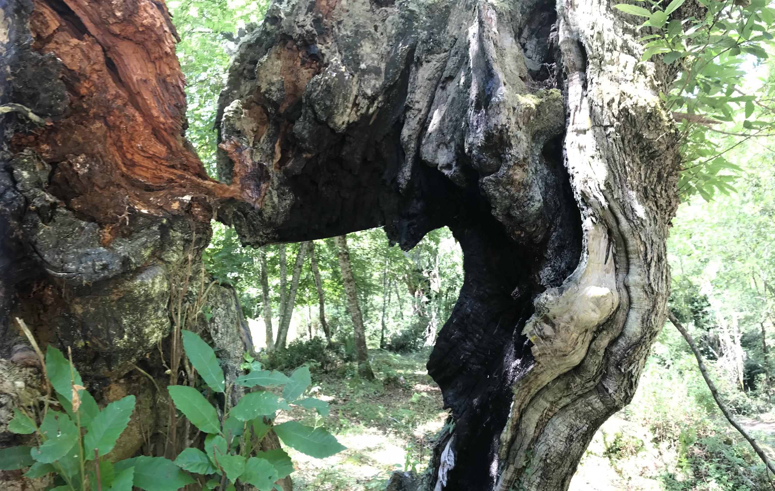 La photo du jour : Les châtaigniers tourmentés de Castagniccia