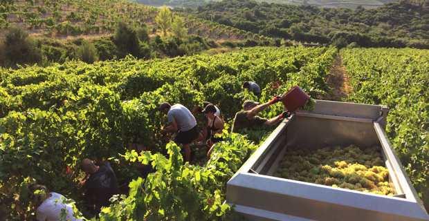 Les vendanges dans le vignoble de la famille Arena à Patrimoniu.