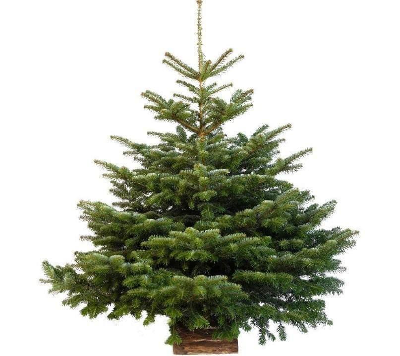 Recyclage des sapins de Noël  à la comcom Calvi-Balagne
