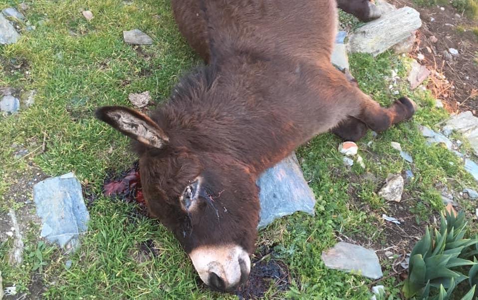 """Cardo : """"Vergogne à celui qui a abattu le petit âne"""""""