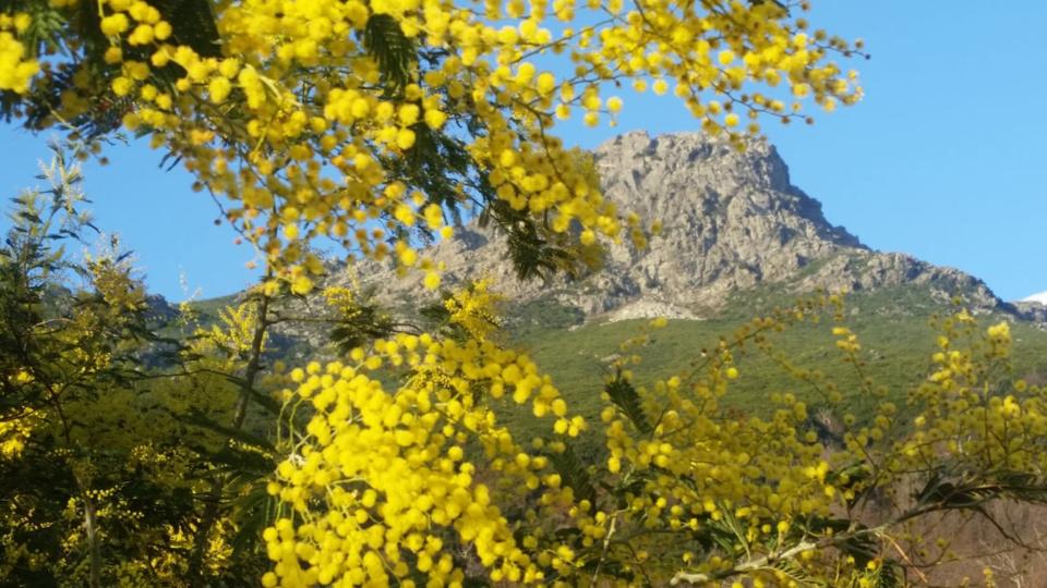 La photo du jour : Mimosa en fleur au pied de l'Arpone